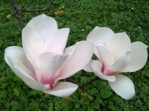 Il 24 marzo riapertura in fiore per l'Isola Madre